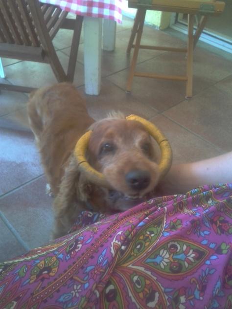 Sweet Lexi wearing his chew toy as reindeer antlers