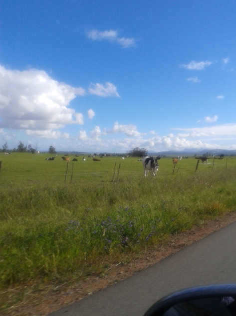 We stayed out until the cows came home (not so late as you can clearly see the blue sky behind 'em)