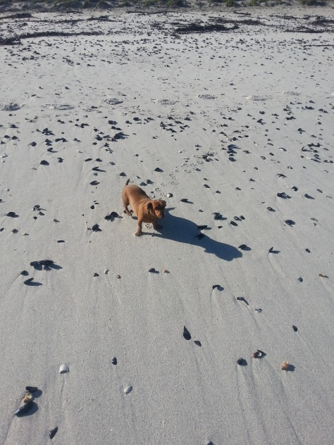 First up - a dog walk on the beach. Little Bassie looks even smaller roaming an empty beach. She steers clear of the water