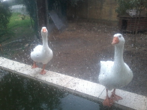 More birdies! These curious geese stuck outside in the rain were Very Interested in us and kept tapping their beaks against the window to attract our attention