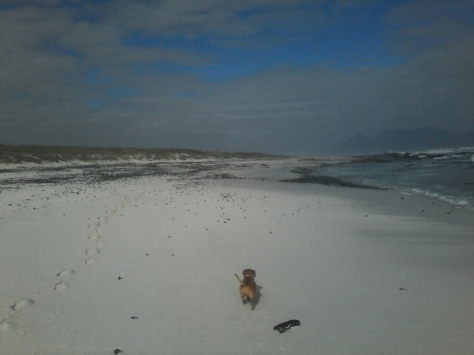 Bassie trotting ahead of me on the beach
