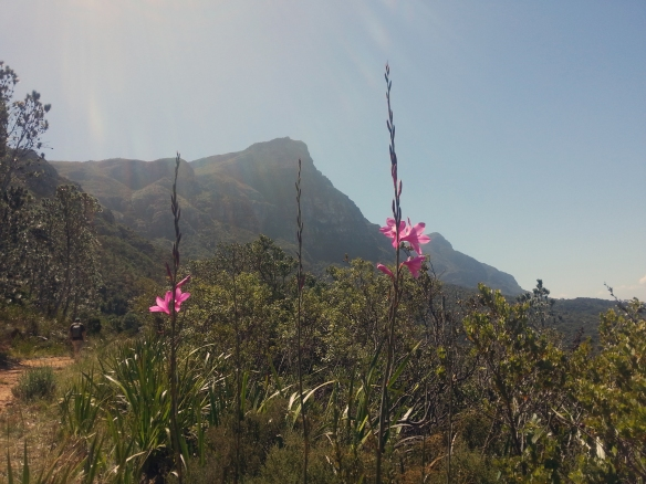 Beautiful sub-dappled flowers, with Devil's Peak in the distance, on our way in to Kirstenbosch