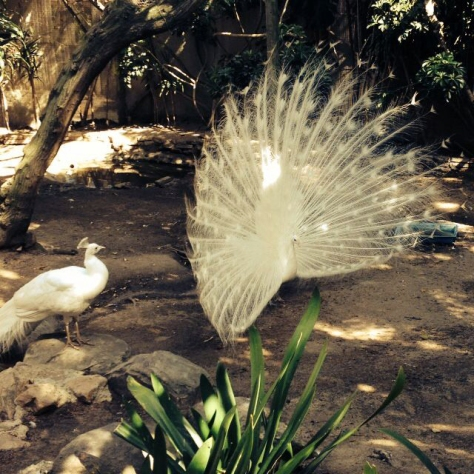 Mother took this rather glorious shot of a white peacock in full courtship display. Beautiful.