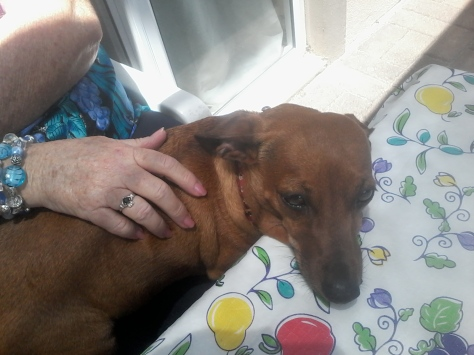 Bassie jumped onto her Granny's lap and rested her head on the table. Oops, 'No Bassie photos' fail #8...