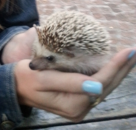 This is Lily, my former-minion's sweet little hedgehog. She's very prickly, doesn't like to be touched, and puffs and huffs into a sweet little ball when she's had enough attention