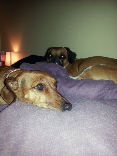 Dogs in the dark. Sort of. As usual, Bertie looks directly at the camera, Bassie gazes wistfully off into the distance