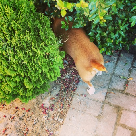 Love this dog. Exploring deep in the bushes.