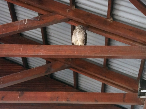 Mum-in-law identified him as an eagle owl. He seems very sleepy.