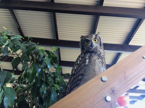 Look who we found, while wandering around our local Stark Ayres nursery! The eagle owl who'd take up residence at West Coast Village the week before!
