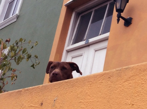 I spotted this dog watching me over his wall, so I took a photo. He was still as a statue.