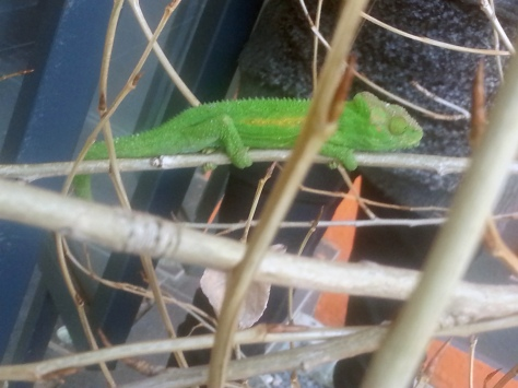 He's real! We caught this little critter trying to dodge our attention in a tree outside our office building on Tuesday. I didn't sing 'Karma chameleon' to him... at least, not loud enough for anyone else to hear :)