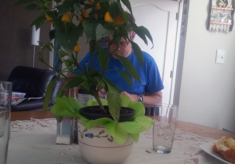 Husband tucking into his curry, behind Mum's mini chilli tree.