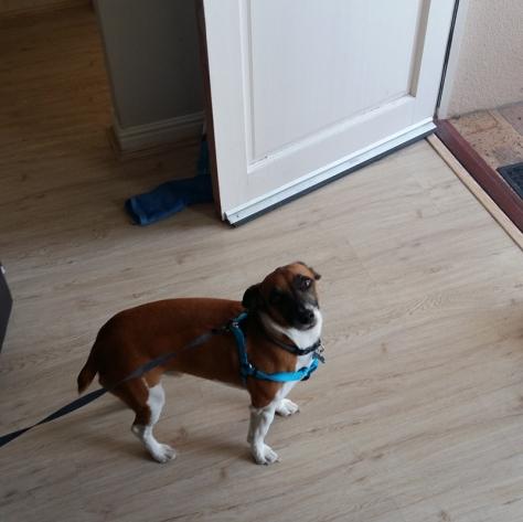Leigh's dog Bertie in new walking harness