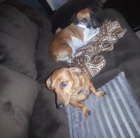 Leigh's dogs Bassie and Bertie sitting on the couch