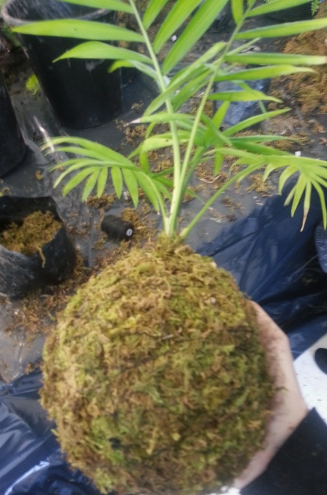 Making a kokedama, wrapped in moss.