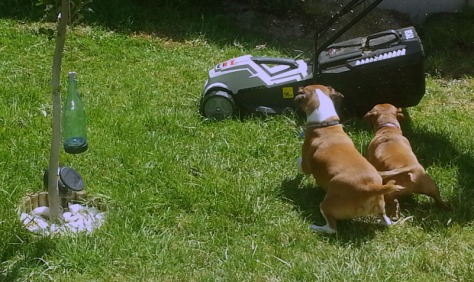 Dogs chasing lawnmower