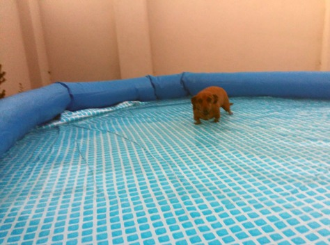 Dacschund in the pool