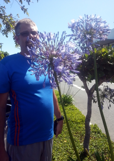 Tall agapanthus